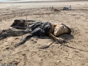 """""""Кит, который съел лошадь, которая съела дельфина"""": причудливое  4.5 - метровое существо с """"ластами"""" и """"мехом"""" вымывает на пляж в Англии"""