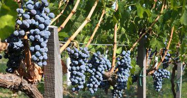 Почти четверть молдавских виноградников заброшены