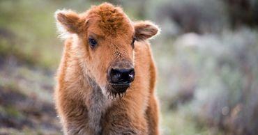 В румынских Карпатах впервые за два столетия на воле родился детеныш зубра
