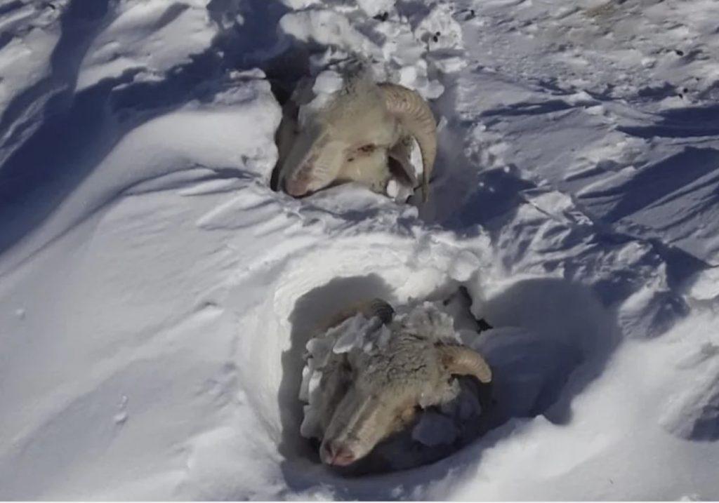 Сильнейший снегопад заживо похоронил коров, лошадей и овец в Аргентине